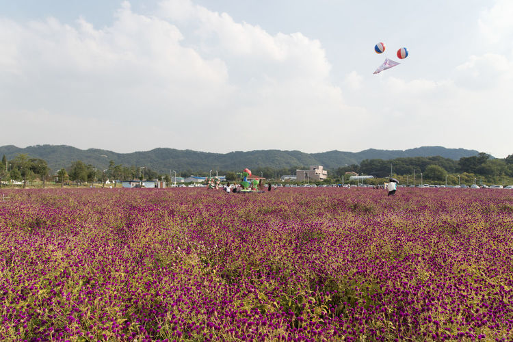 festival of globe amaranth flower with bellvedere at Nari Park in Yangju, Gyeonggido, South Korea Globe Amaranth Flower Adventure Beauty In Nature Cloud - Sky Day Extreme Sports Field Flower Flying Globe Amaranth Growth Hot Air Balloon Landscape Leisure Activity Lifestyles Men Mid-air Mountain Nature One Person Outdoors Parachute Plant Real People Scenics Sky Tree