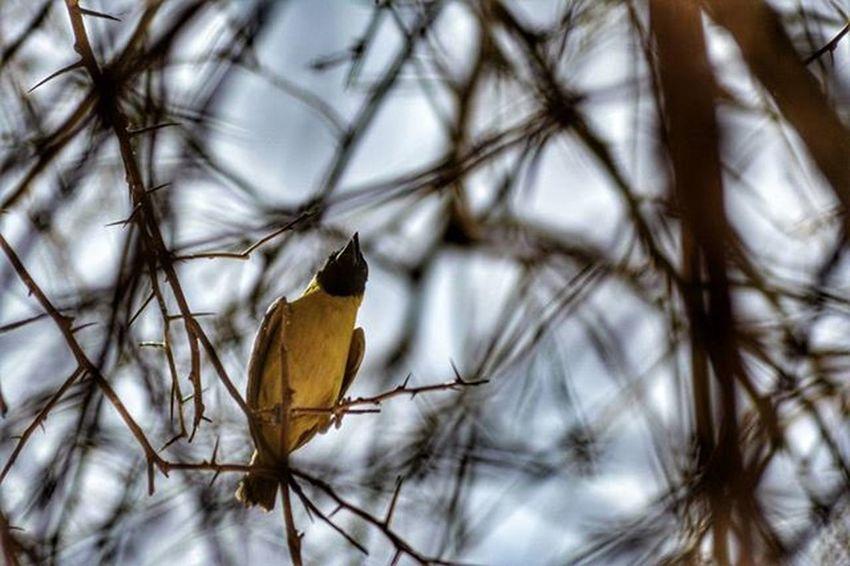 My_Photography Pretty Bird Dark_captures تصويري عدستي_عيني_الثالثة ابداع عصافير 🐦