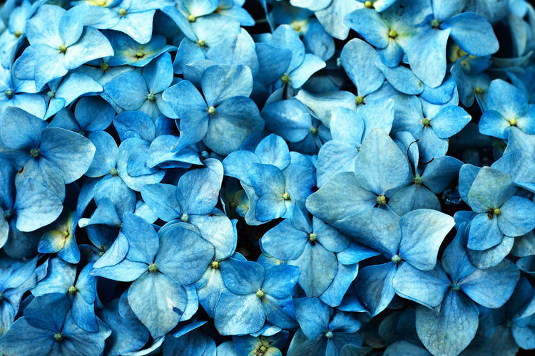 Full Frame Shot Of Blue Hydrangea Blooming Outdoors