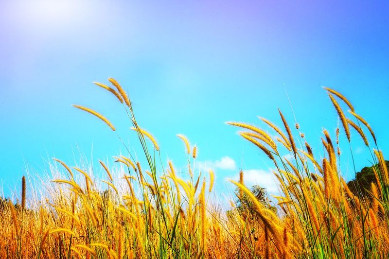 Close-up of crops on field against clear blue sky