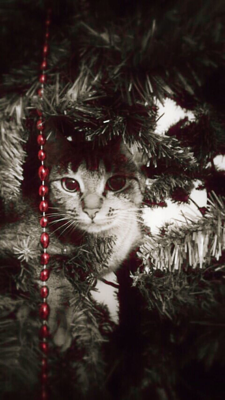 christmas, tree, domestic cat, christmas tree, hanging, one animal, animal themes, no people, looking at camera, christmas ornament, portrait, christmas decoration, domestic animals, branch, outdoors, pets, day, mammal, nature, close-up