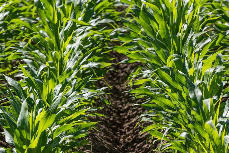 Close-up of corn field