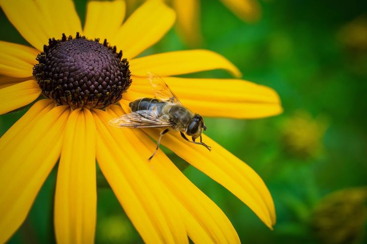 Close-up of fly on black-eyed susan