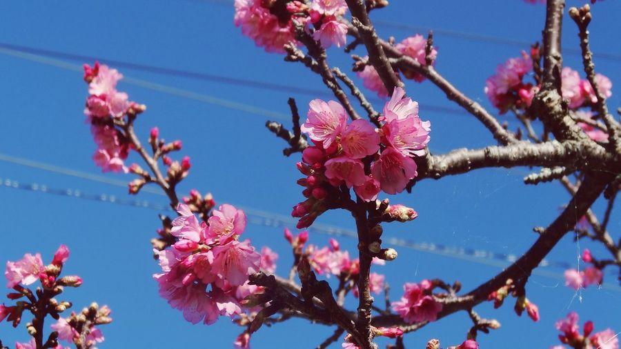 本部 沖縄 サクラ 벚꽃 꽃 Beauty In Nature Plant Freshness Tree Sky No People Outdoors Nature Cherry Blossoms Flowers 나무 오키나와 봄 Okinawa