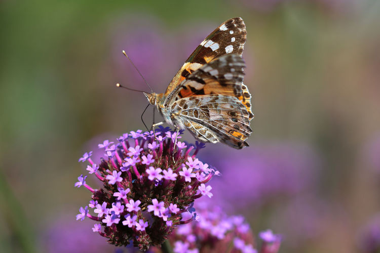Butterfly and