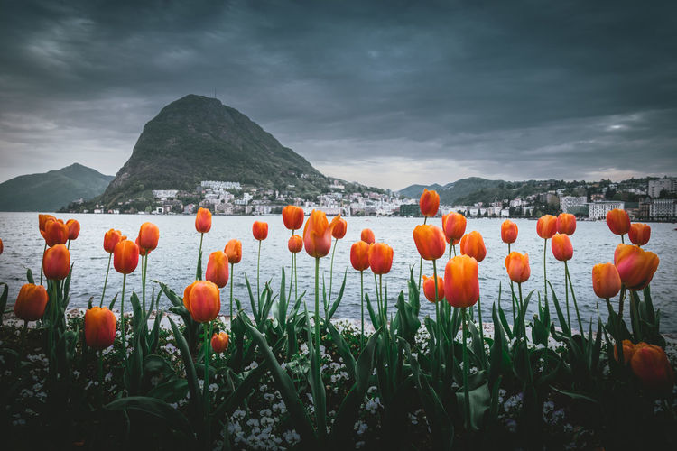 Colors of lugano lake Beauty In Nature Scenics - Nature No People Freshness Field Tranquility Orange Color Nature Cloud - Sky Sky Landscape Plant Mountain Growth Flower Head Orange Flower Land Environment Tranquil Scene Vulnerability  Outdoors Lugano, Switzerland. Luganolake Switzerland🇨🇭 Switzerland❤️