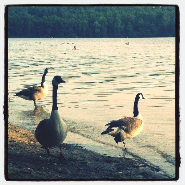 Swimming Lake Birds