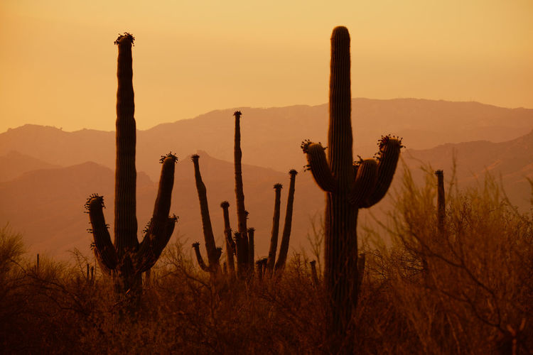 Silhouette cactus plants on field against sky during sunset