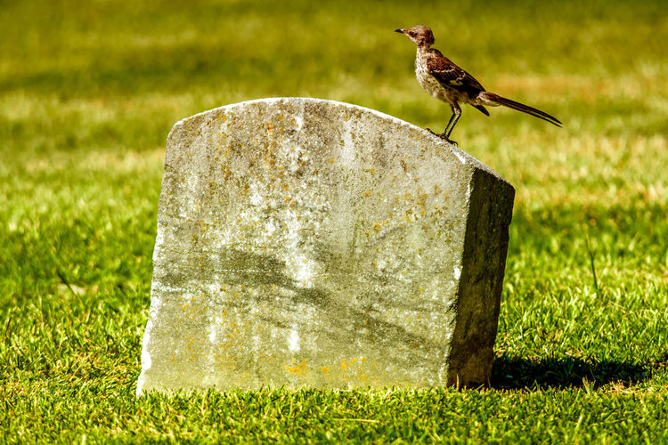 Tombstone Bird Check This Out Taking Photos Cemetery Cemetery_shots Cemetery Photography Cemeterybeauty Bird Bird Photography Birds_collection Birds Of EyeEm  Nikon Nikonphotography EyeEm Best Shots Eyeemphotography Nature On Your Doorstep Nature Nature_collection Tombstone Raleigh