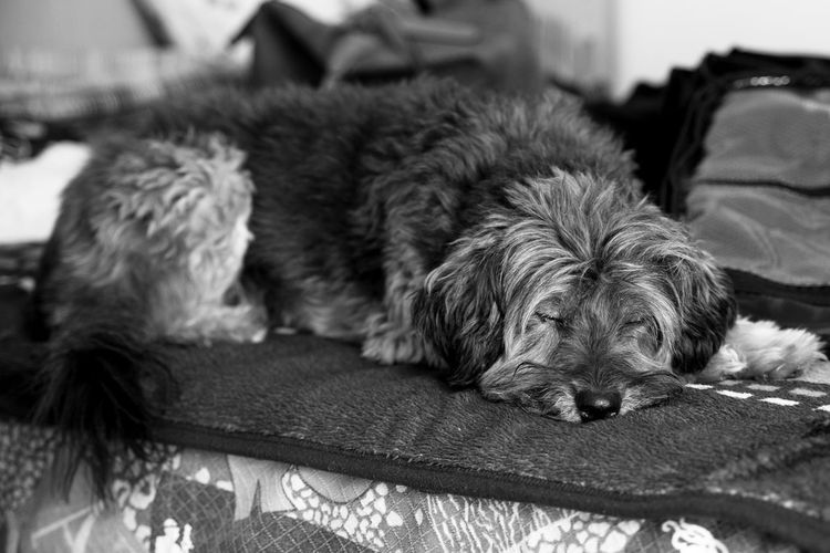 Animal Animal Hair Animal Head  Animal Themes Beauty Close-up Dog Domestic Animals Fashion Focus On Foreground Front View Home Indoors  Indoors  Lifestyles Loyalty Man One Animal People And Places Pets Relaxation Resting Selective Focus Sleeping The Color Of Technology