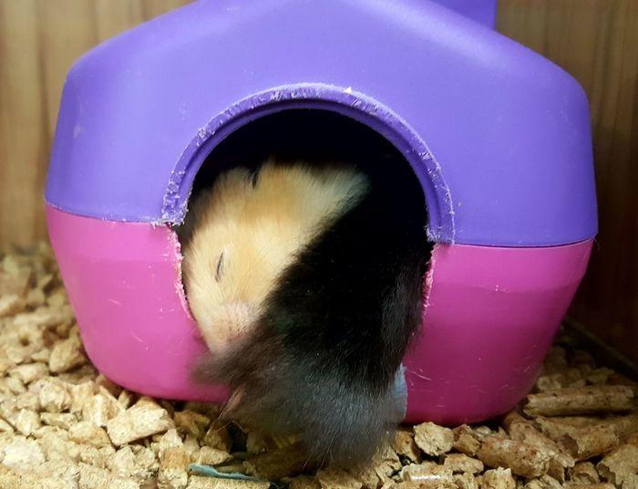 Pets Pet Shop  Cute Pets Sleepy Pets Animal Themes Baby Hamsters Close-up