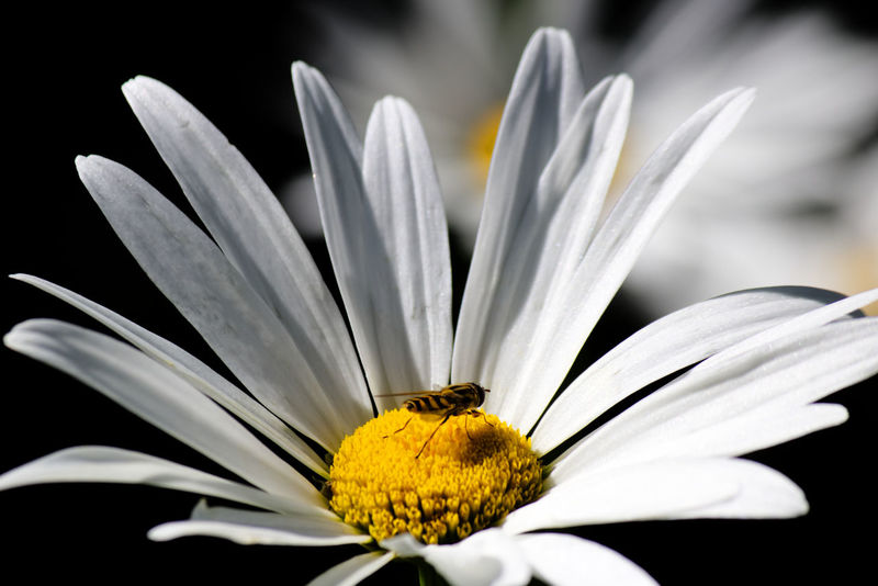 Beautiful and wild... the daisy with a bee on it to collect the nectar. Daisy Flower Daisy 🌼 Animal Themes Beauty In Nature Bee Blooming Close-up Daisy ♥ Day Flower Flower Head Fragility Freshness Growth Insect Nature No People One Animal Outdoors Petal Plant Pollen Stamen Yellow