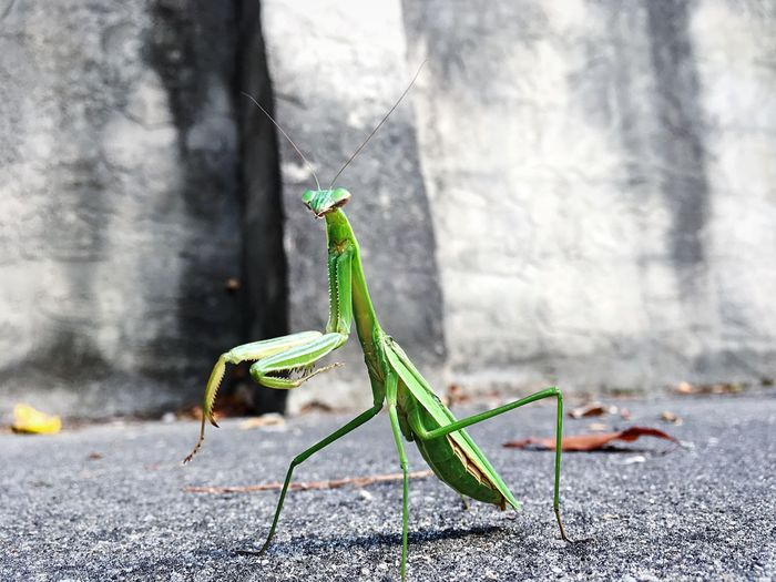 Preying Mantis NC North Carolina Franklin Great Smoky Mountains  Great Smokeys Tacos Pizza Is Good For The Soul... And Stuff Enso Enso CliquePlay Phubotubos Photos Running Out Of Tags Potato Sibe Zamini Ok I Am Done Now Have A Nice Day Have A Nice Night