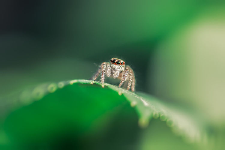 A little furry friend. Almaty Kazakhstan Animal Animal Eye Animal Themes Animal Wildlife Animals In The Wild Arachnid Arthropod Close-up Green Color Insect Invertebrate Jumping Spider Leaf Nature No People One Animal Plant Plant Part Selective Focus Spider Zoology EyeEmNewHere