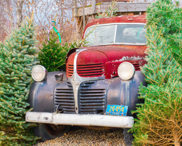 Abandoned Dodge truck with Christmas trees Classic Car Holidays License Plate Red Trees Car Chrsitmas Day Dodge Evergreen Festive Grill Headlight No People Old Old-fashioned Outdoors Retro Styled Rusty Tree Truck
