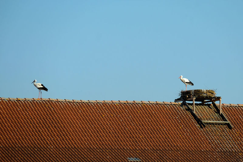 Low angle view of white storks perching on roof against building