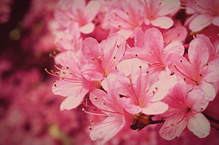 Flower Pink Pink Color FlowerPink Flower Collection Beauty In Nature Blossom Petal Freshness Fragility Springtime Close-up Selective Focus Outdoors Flower Head Flowers,Plants & Garden Flowers, Nature And Beauty Flowers_collection Flower Photography Flowerlovers Pretty