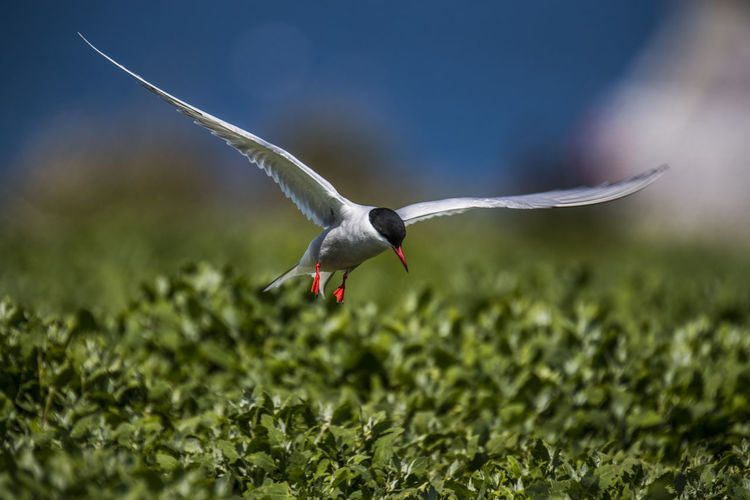 Arctic Tern Flying Over Plants