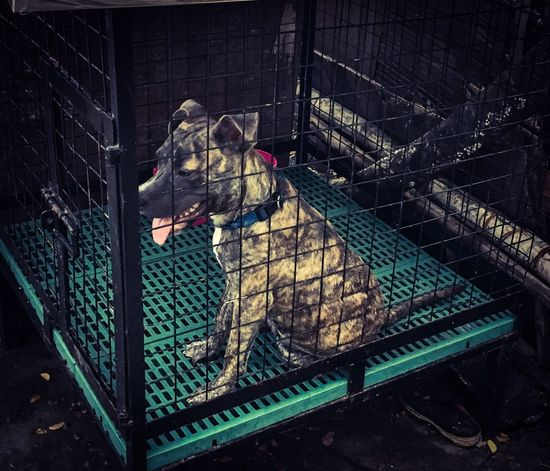 A sad puppy in a cage Puppy Puppy On Cage Cage Dog Ambull American Bully Bully Pet Animal Themes EyeEmNewHere Kennel Dog Kennel Pets Dog Pets