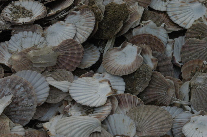 Clam Clamshell Ecology Hunted Organic Overfishing Predation Textures And Surfaces Perspectives On Nature