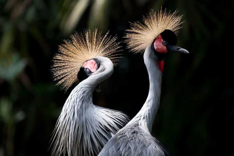 Close-up of grey crowned cranes