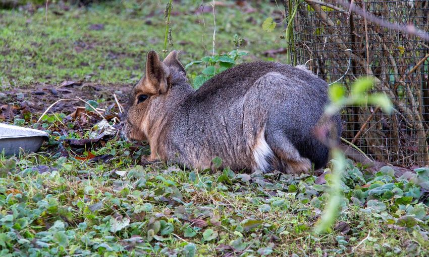 Side view of animal relaxing on field