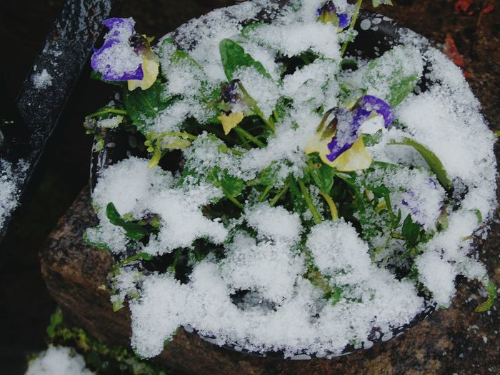 High Angle View No People Flower Outdoors Plant Close-up Nature Day Snow Snow Covering Plant Snow Covered Flower