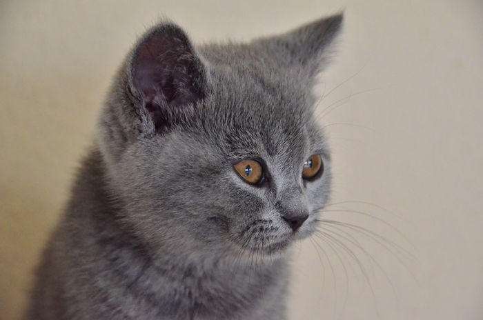 Love Animal Themes Blue Blue Grey British Shorthair Cat Close-up Day Domestic Animals Domestic Cat Feline Focus On Foreground Indoors  Kitten Looking At Camera Mammal No People One Animal Pets Portrait Sweet W-holly Whisker