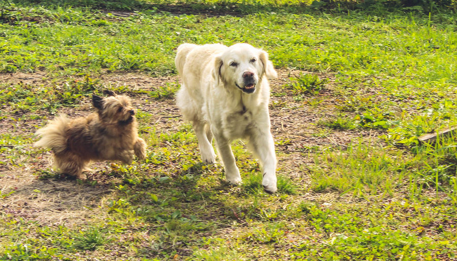 Animal Themes Day Dog Domestic Animals Field Golden Retriever Grass Mammal Nature No People One Animal Outdoors Pets