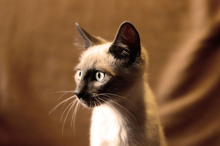 Animal Themes Cat Close-up Day Domestic Animals Domestic Cat Feline Focus On Foreground Indoors  Looking At Camera Mammal No People One Animal Pets Portrait Siamese Siamese Cat Siamesecat Siamesecats Whisker Cats Cats Of EyeEm Cat♡ Cat Lovers Catoftheday The Week On EyeEm Pet Portraits