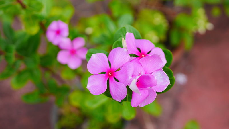 flower Flower Pink Color Plant Beauty In Nature Nature Blossom Flower Head