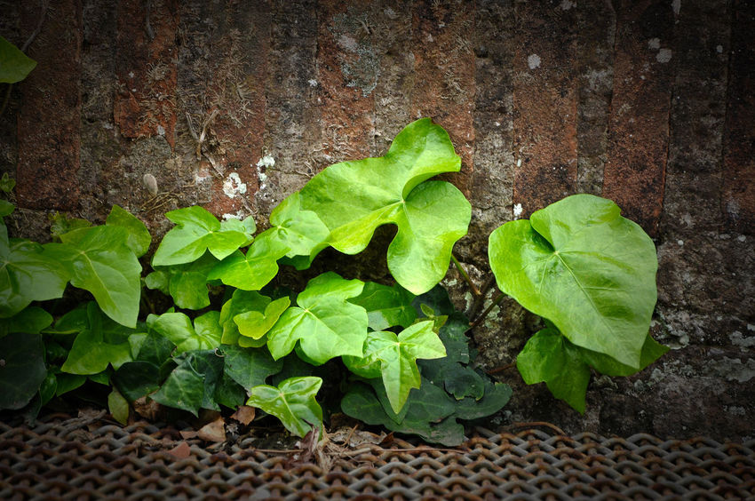 Natural background of vibrant green ivy leaves on a wall Freshness Ivy Leaves Natural Pattern Background Botany Bush Climbing Plant Close-up Day Freshness Garden Green Color Growth Ivy Ivy Leaf Leaf Leaves Leaves Pattern Natural Background Nature No People Outdoors Pattern Plant Spring