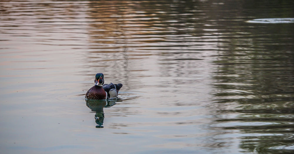 High Angle View Of Mandarin Duck Swimming On Lake