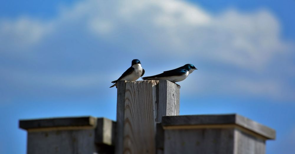 Low Angle View Of Tree Swallows Perching On Wooden Post Against Sky
