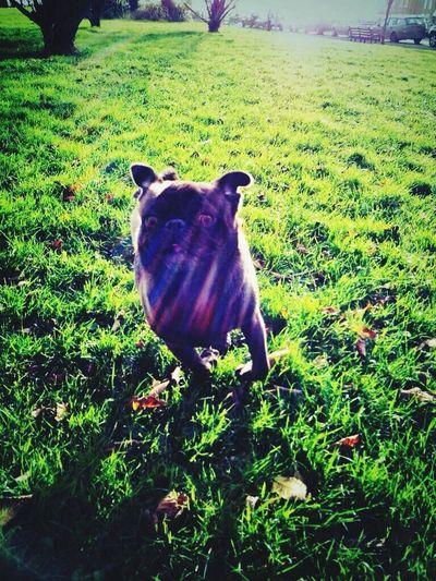 PewDiePie's pug Pug Edgar Allan Pug Pewdiepie