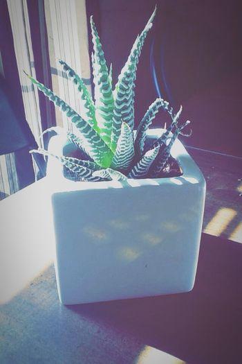 Cactus Beautiful Lighting White