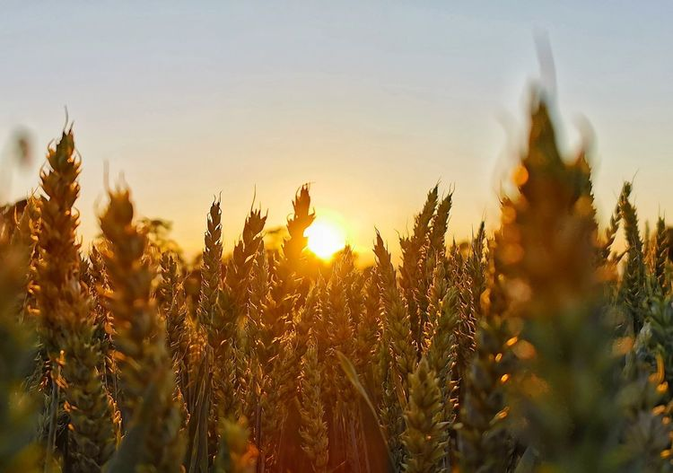 Close-up of crops on field against sky at sunset