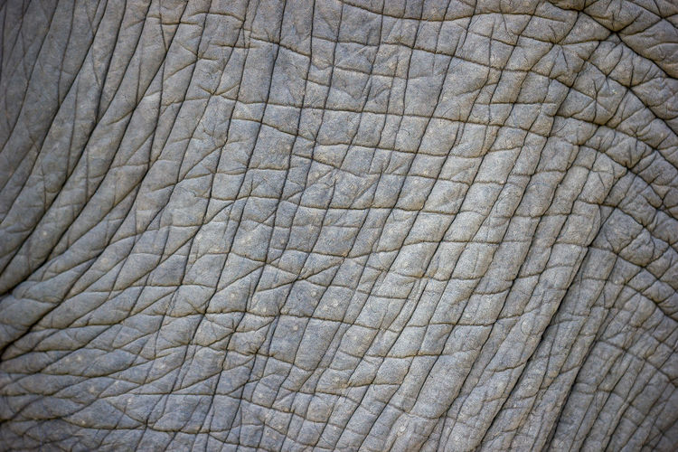 Closeup texture of old Asian elephants for making backgrounds, Wildlife or animal articles. Asian  Leather Nature Abstract Aged Animal Background Brown Closeup Cracked Detail Elephant Herbivorous Large Mammal Old Pattern Rough Skin Texture Thick Tough Trunk Wildlife Wrinkled