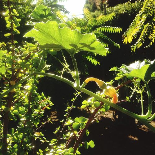 Plants Ghords Gardens Growing Food Sunny Day☀ Capturing The Moment Grow Growth Photo Of The Day