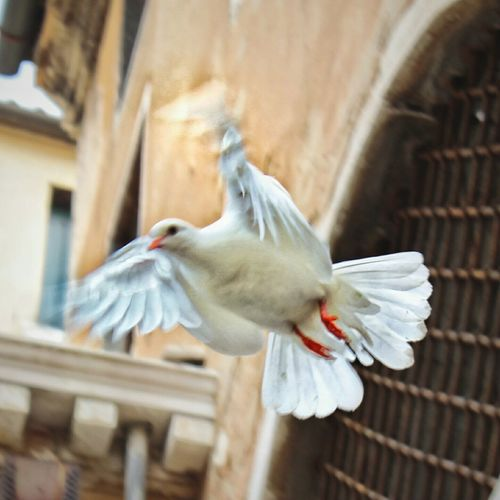 Capture The Moment White Dove rising up as Good Luck symbol for TheSocialBoat2015 - tbt from may event Canonphotography Canon Birds Catching A Flight