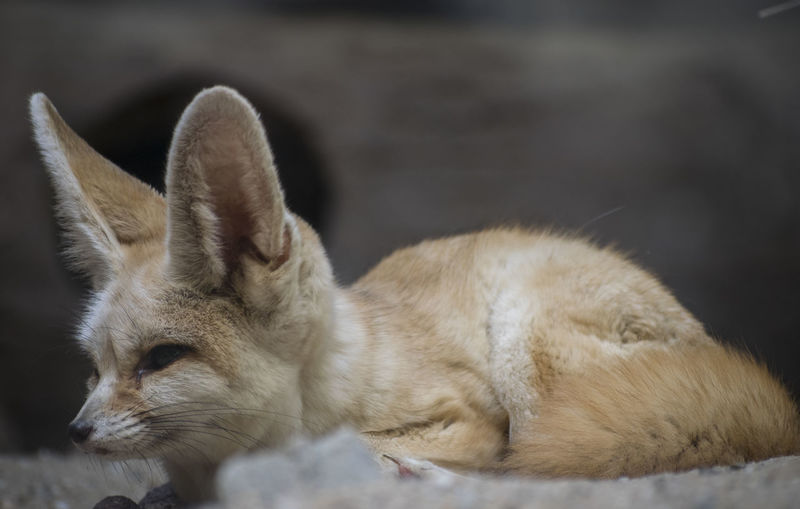 Animal Animal Head  Animal Themes Animal Wildlife Animals In The Wild Cat Close-up Day Desert Fox Domestic Domestic Animals Focus On Foreground Fox Looking Looking Away Mammal No People One Animal Outdoors Pets Profile View Relaxation Vertebrate Whisker