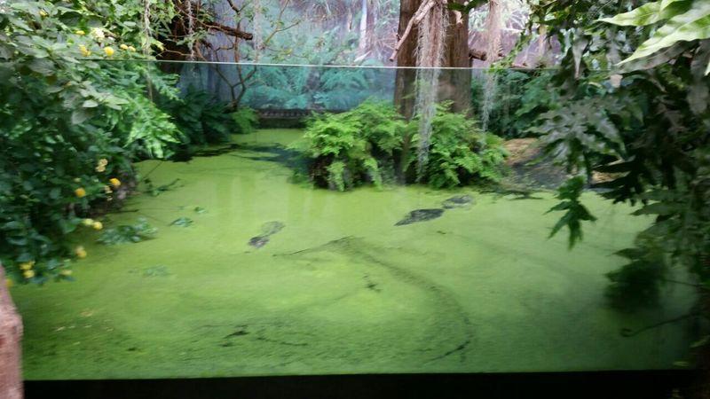 Zoo Animals  crocodile