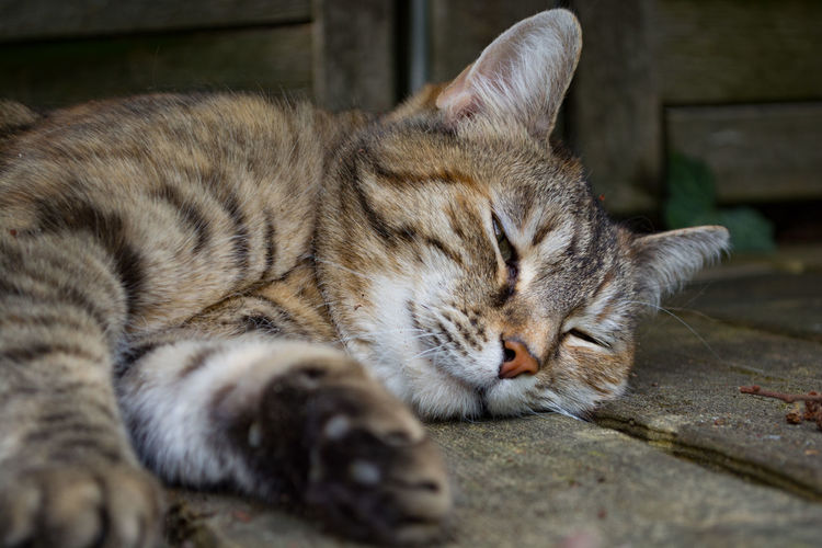Relaxing Animal Animal Head  Cat Eyes Closed  Habib Lying Down Napping Pets Relaxation Selective Focus