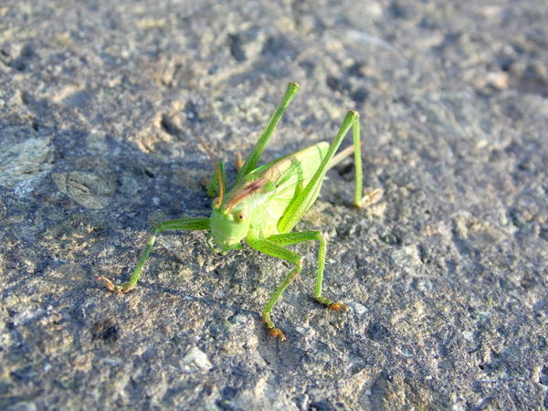 Animal Themes Animal Wildlife Animals In The Wild Close-up Day Grasshopper Green Color Growth Insect Leaf Nature No People One Animal Outdoors Plant