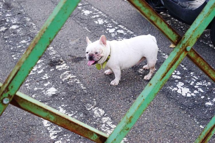 鐵蛋 Pets Dog