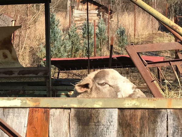 Starý Hay, Krupina Slovakia Sheep Peaking Domestic Animals Farm Small Holding Farm Animals Wooly Wool Europe Trip Travel Traveling