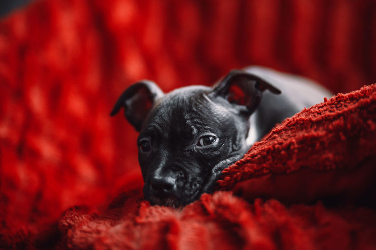 Portrait of black dog relaxing on red floor