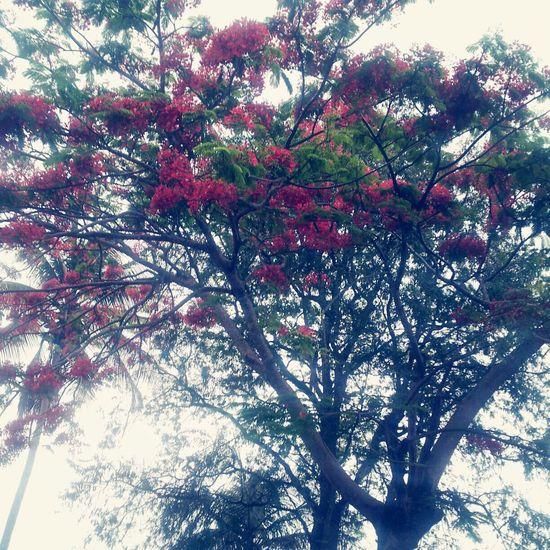 Flanboyan Naranjito Puertorico Nature