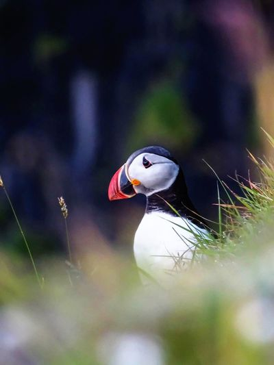 North Atlantic puffin. Faroe Islands. Bird Selective Focus Animals In The Wild Close-up One Animal Wildlife Zoology Tranquility No People Wildlife & Nature Birds Bird Photography Puffin Faroe Islands Wildlife Photography Beauty In Nature Beak Green Outdoors Animal Themes