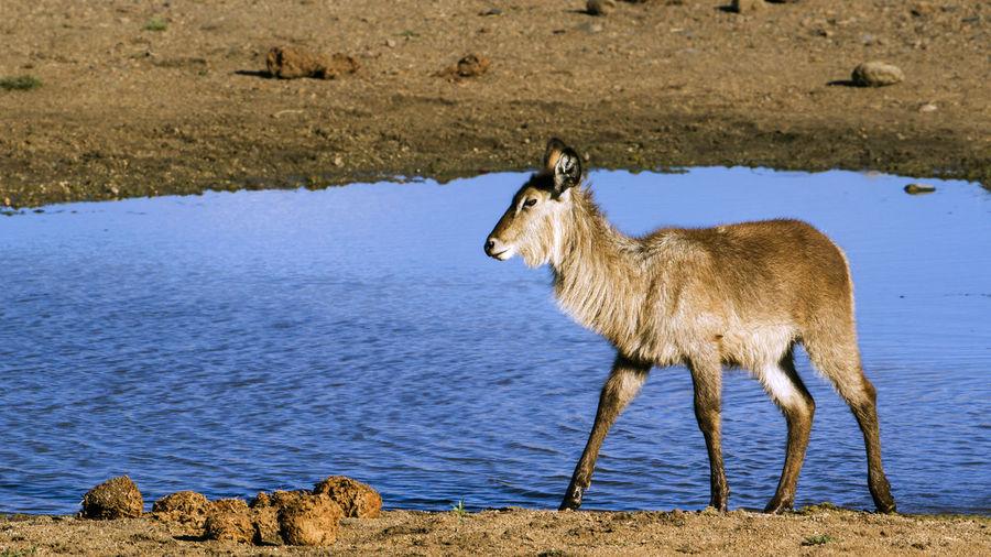 Deer at lakeshore